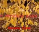 Kareena - Gdy przyjdzie jesień ...