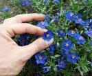 Różni wykonawcy - Błękitny Mały Kwiat